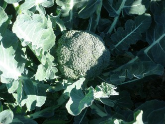 fresh succulent broccoli ready for harvest