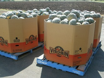 crates of pumpkins ready for transport to market