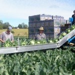 harvesting cauliflowers is a team effort