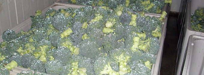brocoli, iced ready for transport